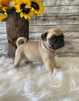 Puppies classifieds - Sabina - ScrollList.com